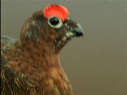 red grouse calls amongst heather - maul stock-videos und b-roll-filmmaterial