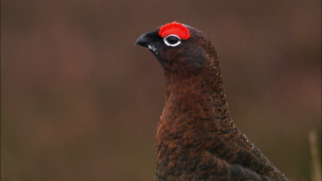 Red grouse (Lagopus scotica) calls on moorland in rain, Cairngorms, Scotland