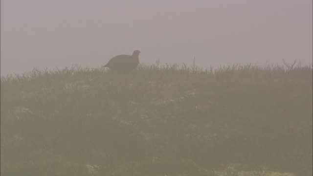 Red grouse (Lagopus scotica) forages on misty moorland, Cairngorms, Scotland