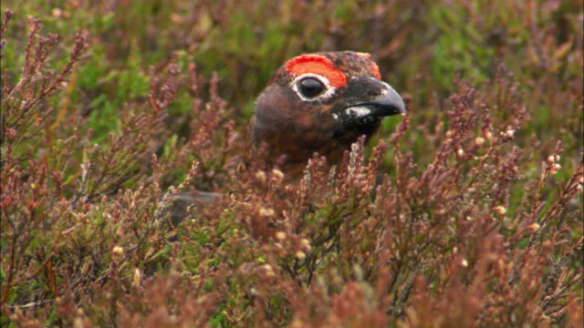 Red grouse (Lagopus scotica) forages on moorland, Cairngorms, Scotland
