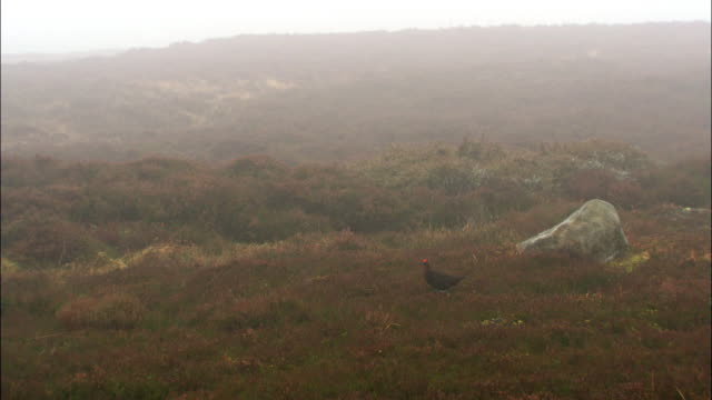 Red grouse (Lagopus scotica) walks on misty moorland, Cairngorms, Scotland