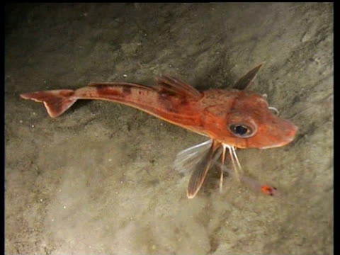 red gurnard on fjord bed snaps at shrimps and stirs up silt, norway - zuschnappen stock-videos und b-roll-filmmaterial