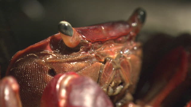 red hand crab foams at the mouth - crab stock videos & royalty-free footage