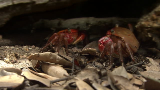 red hand crab preys on an insect - small group of animals stock videos & royalty-free footage