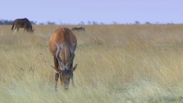 vídeos de stock e filmes b-roll de ms zi red hartebeest eating grass at kgalagadi transfrontier park / northern province, south africa - quatro animais