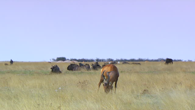 ws red hartebeest eating grass with wildebeest in background at kgalagadi transfrontier park / northern province, south africa - hooved animal stock videos & royalty-free footage