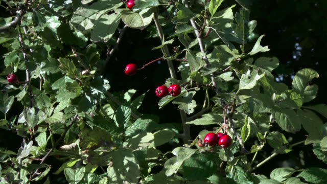 Red hawthorn berries filmed in October