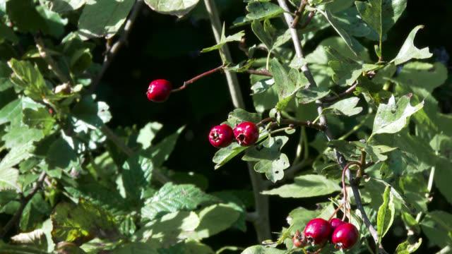 Red hawthorn Beeren, gefilmt in Oktober