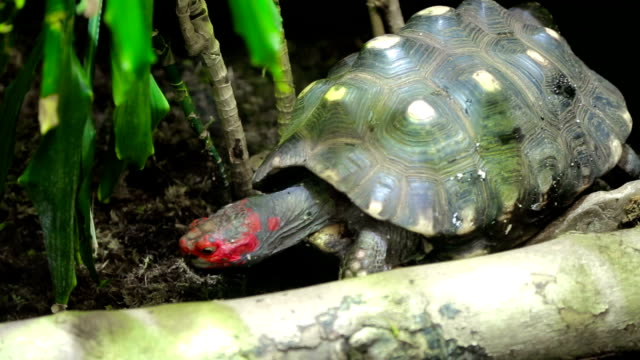 Red head turtle. Trachemys scripta elegans