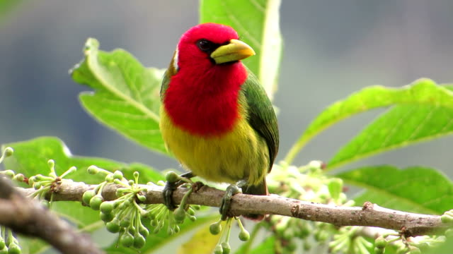 Red Headed Barbet Male