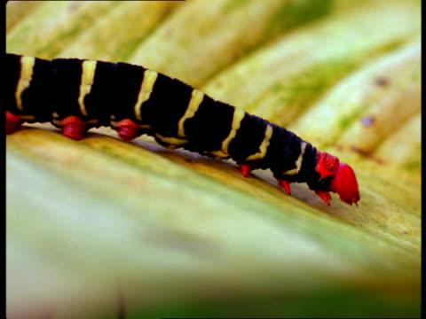 A red headed caterpillar crawls across a leaf.