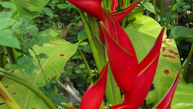 red heliconia in garden - heliconia stock videos & royalty-free footage
