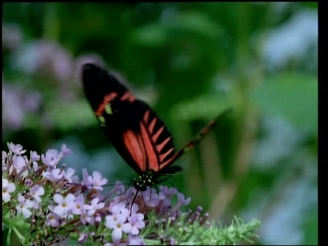cu red heliconid butterfly feeding on flowers - animal markings stock videos & royalty-free footage