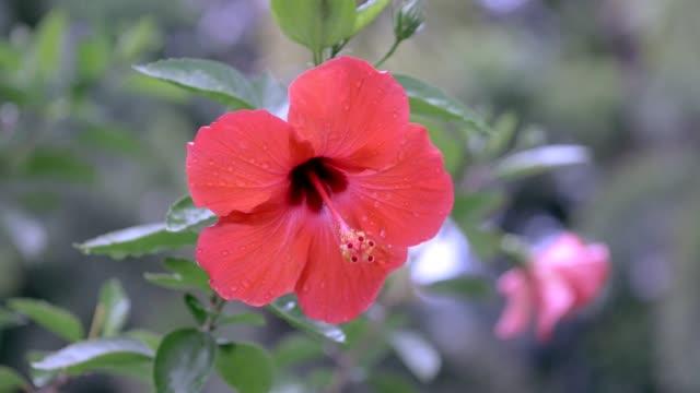 roter hibiskus nach regen - eibisch tropische blume stock-videos und b-roll-filmmaterial