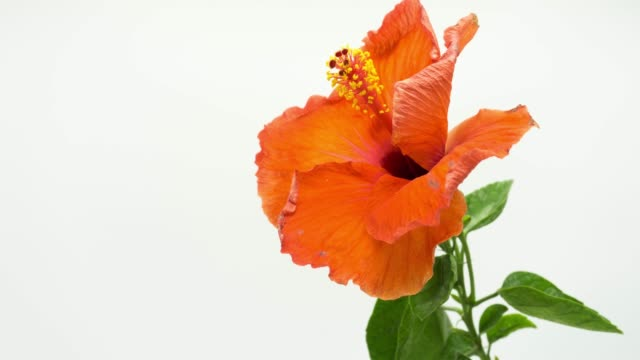 Red Hibiscus Blooming