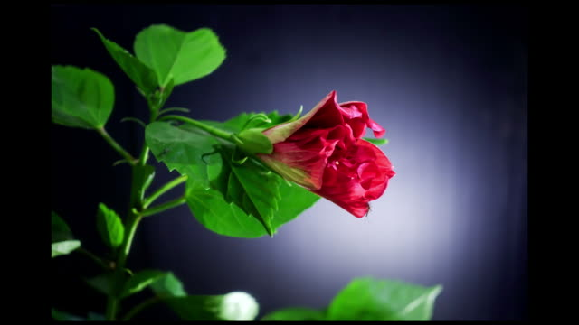 red hibiscus flower blooming in time-lapse - plant bulb stock videos & royalty-free footage