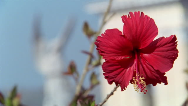 selective focus, cu, red hibiscus flower, santiago de cuba, cuba  - santiago de cuba stock videos and b-roll footage