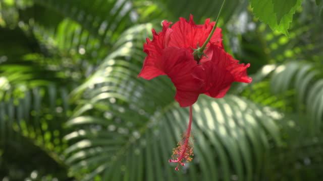 red hibiscus flower - eibisch tropische blume stock-videos und b-roll-filmmaterial
