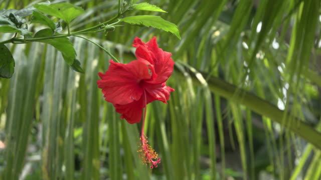 zo / red hibiscus flower - 雌しべ点の映像素材/bロール