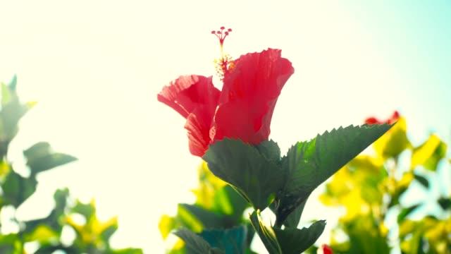 roter hibiskus blumen - eibisch tropische blume stock-videos und b-roll-filmmaterial
