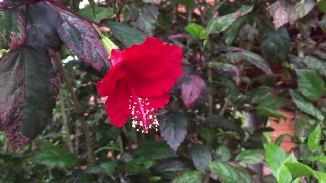 red hibiscus or chinese rose flower - pistil stock videos & royalty-free footage