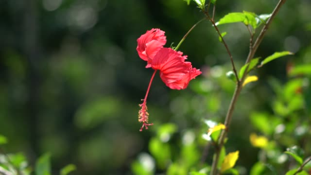 red hibiscus rosa - malaysia stock videos & royalty-free footage