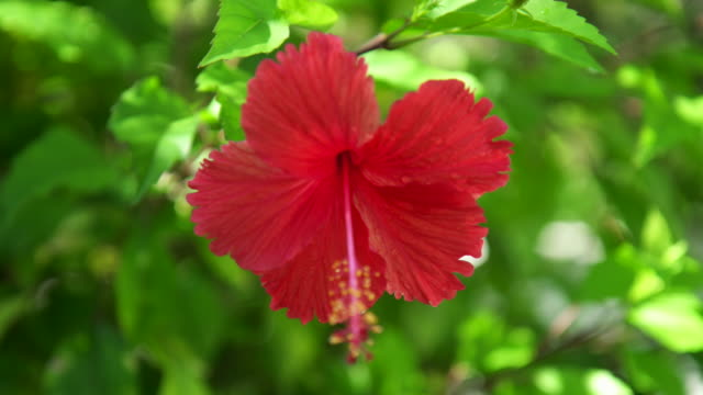 Red hibiscus tropical flower.