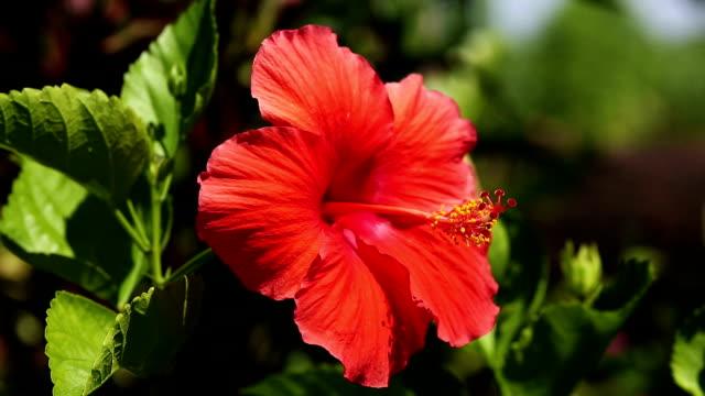 roter hibiskus - eibisch tropische blume stock-videos und b-roll-filmmaterial