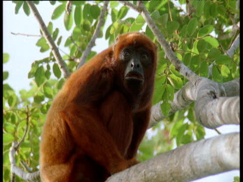 red howler monkey calls and scratches head in rainforest canopy, brazil - ライバル点の映像素材/bロール