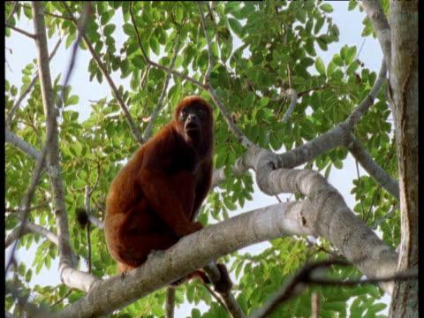 red howler monkey calls from branch in rainforest canopy, brazil - ライバル点の映像素材/bロール