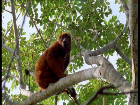 red howler monkey calls from branch in rainforest canopy, brazil - rivalry stock videos & royalty-free footage