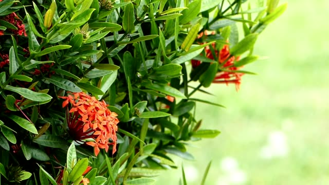 Red Ixora flowers blowing in the wind