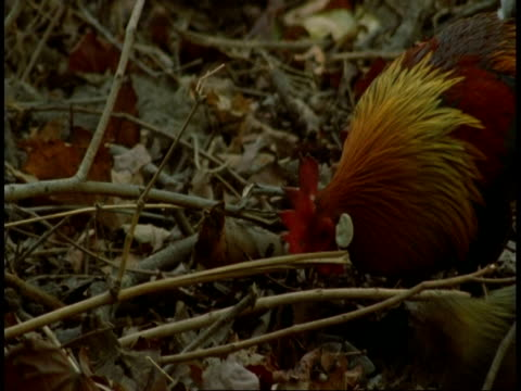cu red jungle fowl, gallus gallus, in jungle, bandhavgarh national park, india - national icon stock videos & royalty-free footage