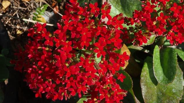 red kalanchoe blossfeldiana - plant pot stock videos & royalty-free footage