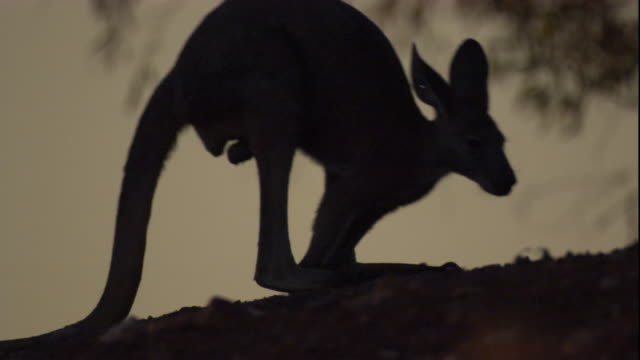 A red kangaroo at dusk, New South Wales. Available in HD.