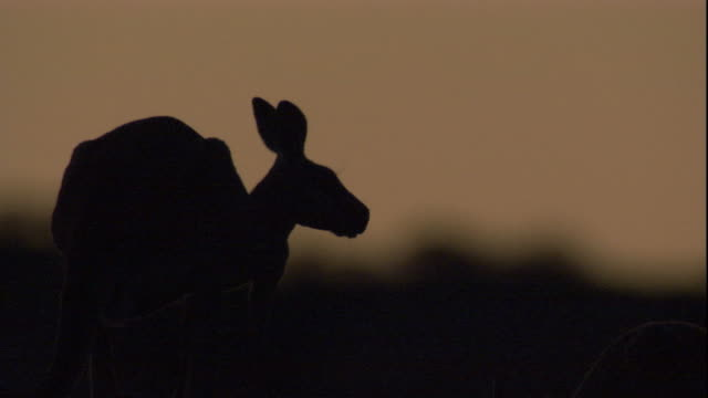 a red kangaroo at dusk, new south wales. available in hd. - squiggle stock videos & royalty-free footage