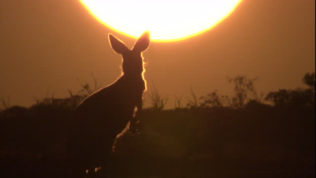 A red kangaroo at sunset, New South Wales. Available in HD.