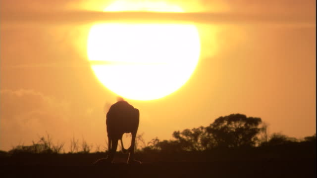 vidéos et rushes de a red kangaroo at sunset, new south wales. available in hd. - kangourou