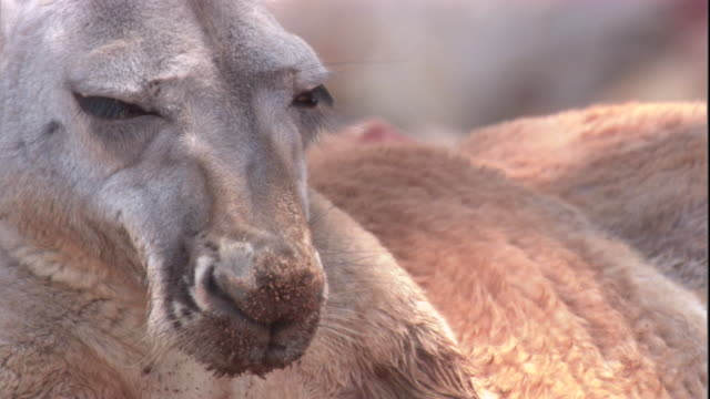 a red kangaroo dozes in the shade, new south wales. available in hd. - squiggle stock videos & royalty-free footage
