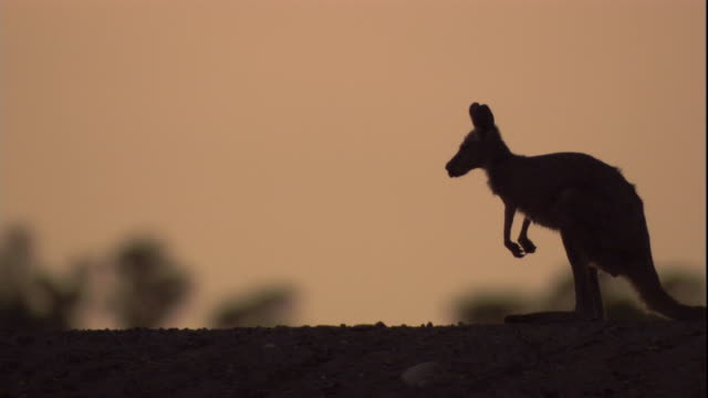 a red kangaroo hops away at dusk, new south wales. available in hd. - känguru bildbanksvideor och videomaterial från bakom kulisserna