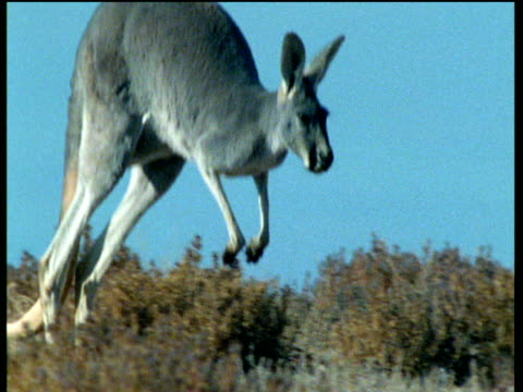 "vidéos et rushes de red kangaroo hops over arid outback - ""bbc natural history"""