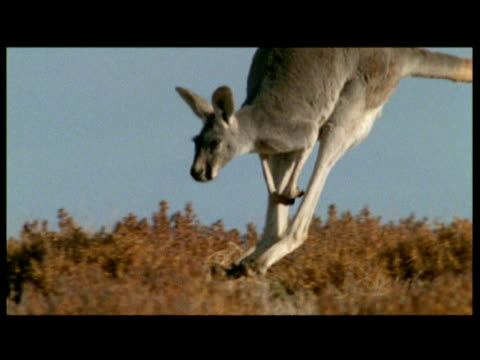 Red kangaroo hops over the outback