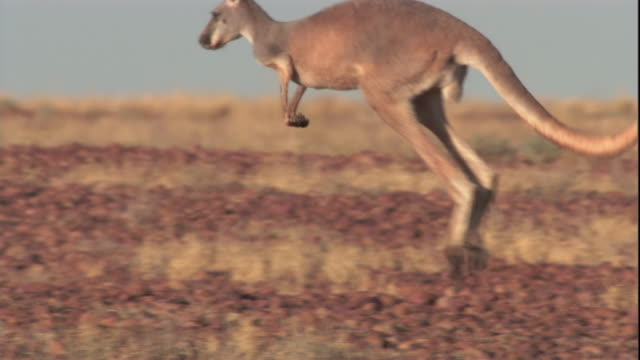 vidéos et rushes de a red kangaroo hops through the outback, new south wales. available at hd. - kangourou