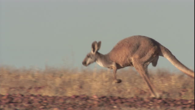 A red kangaroo hops through the outback, New South Wales. Available at HD.