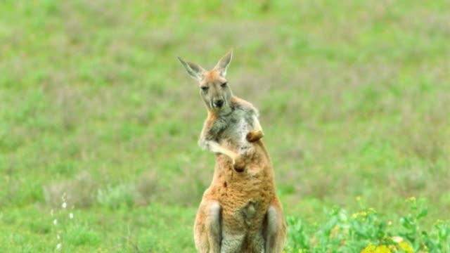 red kangaroo in green field scratching / flinders ranges, south australia - カンガルー点の映像素材/bロール