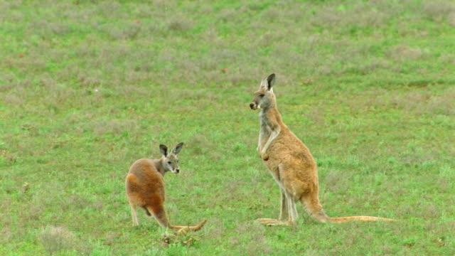 pan red kangaroo + joey jumping in green field / flinders ranges, south australia - カンガルー点の映像素材/bロール