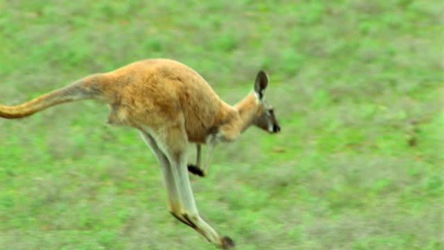 PAN red kangaroo jumping in field past other kangaroos / Flinders Ranges, Australia
