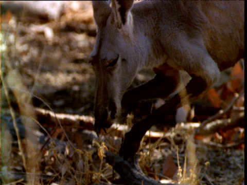red kangaroo licks forearms to keep cool in outback, queensland - avambraccio video stock e b–roll