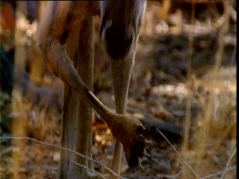 red kangaroo licks forearms to keep cool in outback, queensland, australia - avambraccio video stock e b–roll