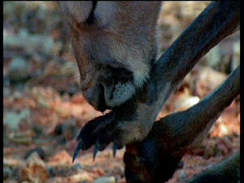 red kangaroo licks its forearm to cool down - forearm stock videos and b-roll footage